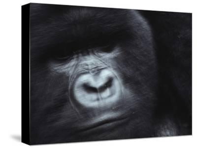 A Silverback Mountain Gorilla