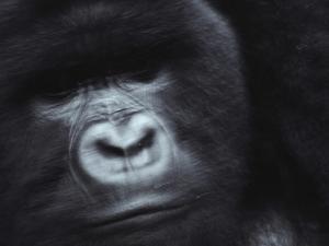 A Silverback Mountain Gorilla by Michael Nichols