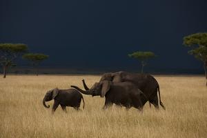 A Small Family of Elephants Moves across the Plains of the Serengeti by Michael Nichols