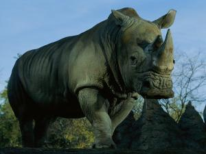 A Southern White Rhino at the San Diego Wild Animal Park by Michael Nichols