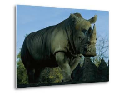 A Southern White Rhino at the San Diego Wild Animal Park