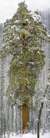 A Team of Scientists Measure a Giant Sequoia, Called the President