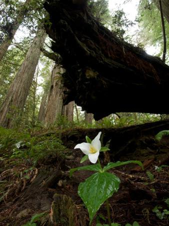 A Trillium Flower Along Ten Taypo Trail by Michael Nichols