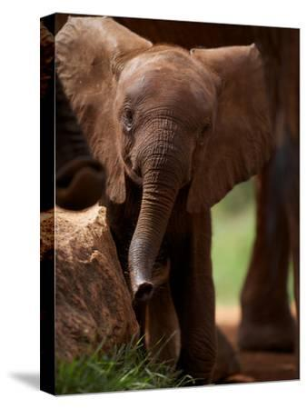 A Wild-Born Elephant Calf