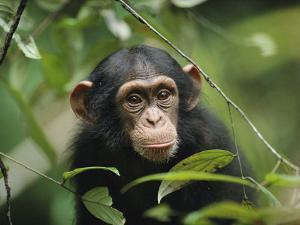 A Young Chimpanzee Peeks Through the Leaves of the Tai Forest by Michael Nichols
