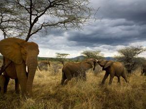 Adolescent elephants tussle amiably by Michael Nichols