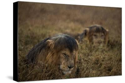 Adult Male Lions Lie Side by Side During an Afternoon Rain Shower in Serengeti National Park