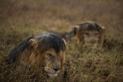 Adult Male Lions Lie Side by Side During an Afternoon Rain Shower in Serengeti National Park by Michael Nichols