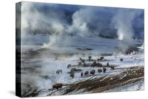 Along the Firehole River, Snow Melts Faster, and Bison are Able to Graze by Michael Nichols