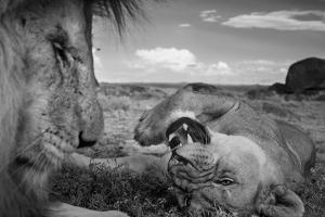 An adult male lion, C-Boy, and a Vumbi female relax between matings. by Michael Nichols
