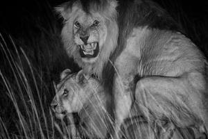 An adult male lion, C-Boy, mates with a Kibumbu pride female. by Michael Nichols