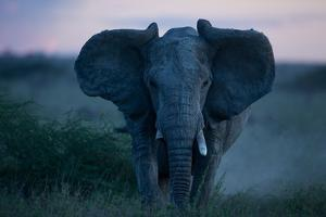 An African Elephant Matriarch Charges by Michael Nichols