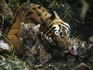 An Indian Tigress Licks One of Her Tiny New Cubs by Michael Nichols