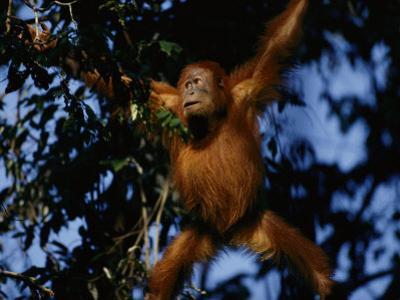 An Orangutan Climbs a Tree