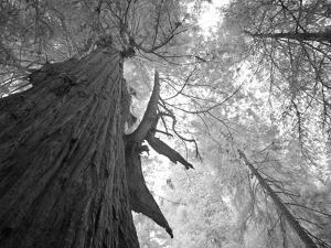 An over 300 Foot Giant Redwood Tree by Michael Nichols