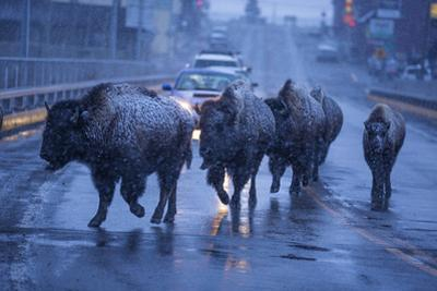 Bison Migrating Out of Yellowstone National Park Cross a Highway Bridge into Gardiner by Michael Nichols