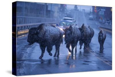 Bison Migrating Out of Yellowstone National Park Cross a Highway Bridge into Gardiner