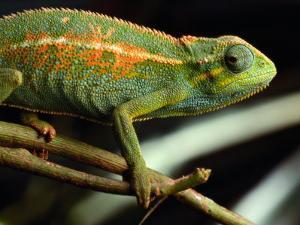 Chameleon, Virunga Volcanoes National Park, Zaire by Michael Nichols