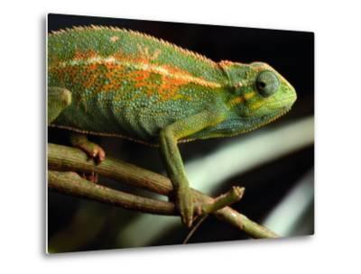 Chameleon, Virunga Volcanoes National Park, Zaire