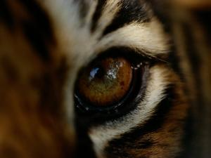 Close-up of the Eye of a Captive Bengal Tiger by Michael Nichols
