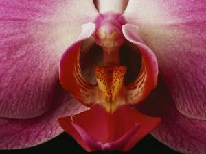 Close View of a Delicate Orchid Blossom by Michael Nichols