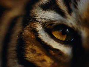 Close View of Tigers Eye by Michael Nichols