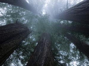 Coastal Fog Covers Redwood Treetops in the Lady Bird Johnson Grove by Michael Nichols