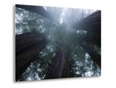 Coastal Fog Covers Redwood Treetops in the Lady Bird Johnson Grove