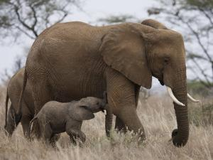 Elephant Calf Finds Shelter Amid its Mother's Legs by Michael Nichols