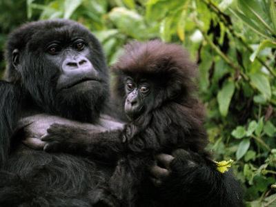 Female Mountain Gorilla and Her Child, Rwanda