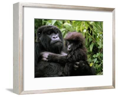 Female Mountain Gorilla and Her Child, Rwanda