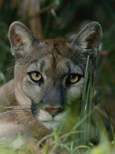 Florida Panther by Michael Nichols