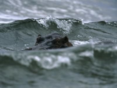 Hippopotamus Peering Out of the Surf by Michael Nichols