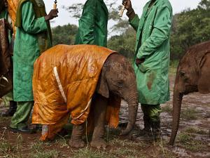 Keepers Protect a Baby Elephant From the Cold and Rain With a Custom-Made Raincoat by Michael Nichols