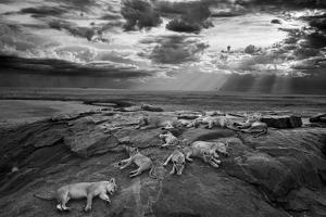 Lionesses and cubs from the Vumbi lion pride rest on a kopje, a rocky outcrop. by Michael Nichols