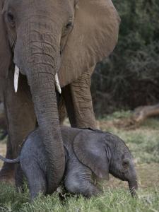 Newborn Elephant with its Mother in Samburu National Park by Michael Nichols