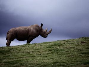 Northern White Rhinoceros by Michael Nichols