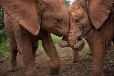Orphan Elephants Socialize as Soon as the Worst Injuries Heal by Michael Nichols