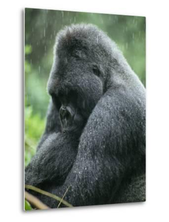 Profile of a Silverback Moutain Gorilla in the Rain