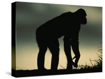 Silhouetted Bonobo