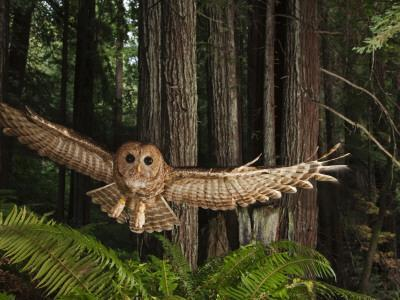Tagged Northern Spotted Owl in a Redwood Forest
