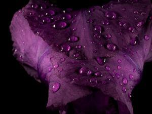Water Drops on a Purple Flower in a Redwood Forest Habitat by Michael Nichols