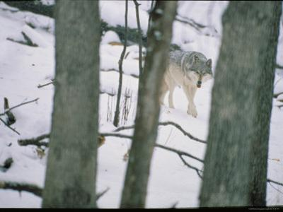 Wolf by Michael Nichols