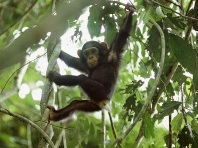 Young Chimpanzee Hangs from a Tree Limb by Michael Nichols
