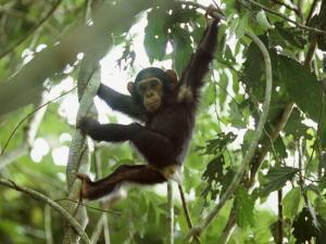 Young Chimpanzee Hangs from a Tree Limb by Michael Nichols