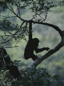 Young Chimpanzee Playing in Tree by Michael Nichols
