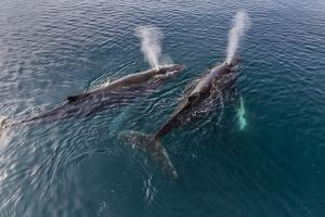 A Pair of Adult Humpback Whales (Megaptera Novaeangliae) by Michael Nolan
