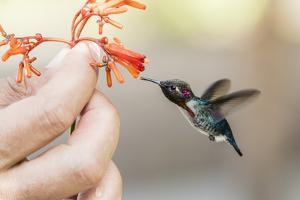 A wild adult male bee hummingbird (Mellisuga helenae), attracted to hand-held flower near Playa Lar by Michael Nolan