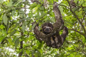 A wild brown-throated sloth , Landing Casual, Upper Amazon River Basin, Loreto, Peru by Michael Nolan