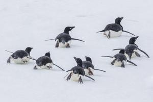 Adelie Penguins (Pygoscelis Adeliae) Tobogganing to the Sea at Brown Bluff by Michael Nolan